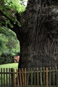 Eiche Oak Tree Stories of old trees grunewald