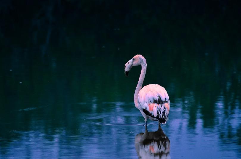 Isabela Galapagos Puerto Villamil Flamingo