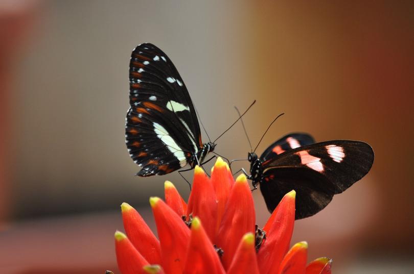 Mindo Butterflies