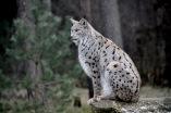 Wandern, hiking, Schorfheide, Tierpark, Luchs